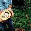 En Colombie, un conseiller agricole coupe un fruit pour exposer les graines de cacao, utilisées pour faire du chocolat.