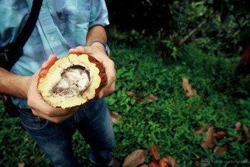 Cacao colombiano con el que se hace el chocolate.