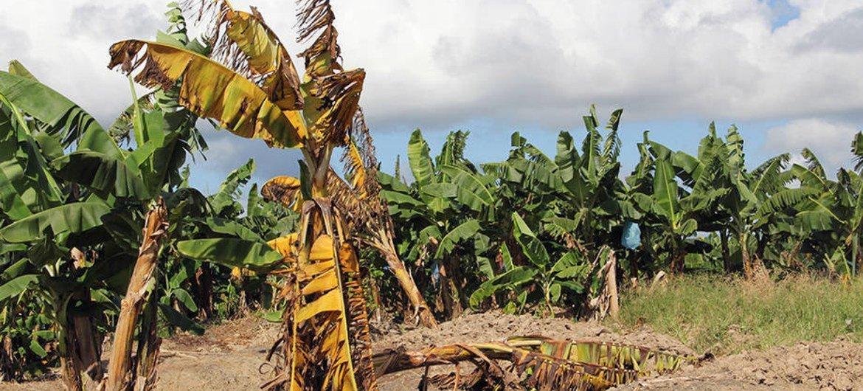 Plantas de banano afectadas por el hongo Fusarium R4T en Filipinas. Foto: FAO / Fazil Dusunceli