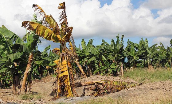 A banana plant affected by the deadly Fusarium wilt disease among a field of healthy plants in the Philippines.
