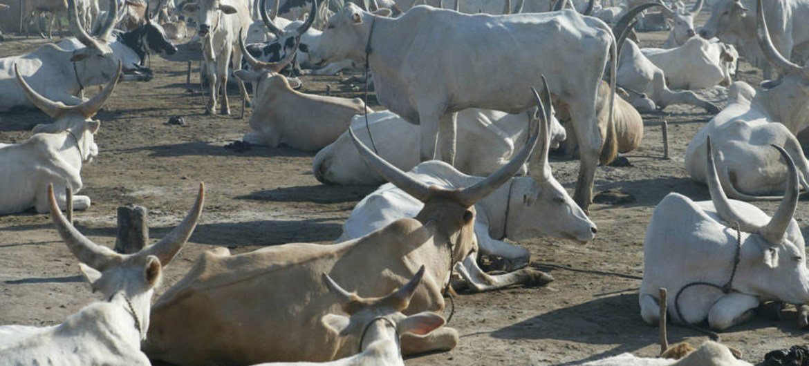 Cattle rest at a temporary camp near Rumbek, South Sudan.