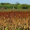 Cultivo de sorgo en Uruguay. Foto de archivo: FAO/Sandro Cespoli