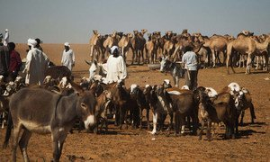 A market for livestock in the Golo area of Darfur.