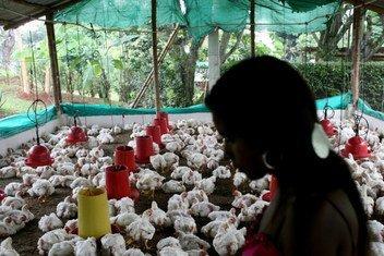 Una granja de gallinas en San Nicolás, Colombia.