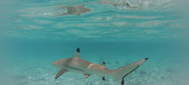Lemon shark in Bora-Bora, French Polynesia.