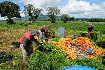 Des travailleurs agricoles dans une ferme au Guatemala. Photo Banque : mondiale/Maria Fleischmann