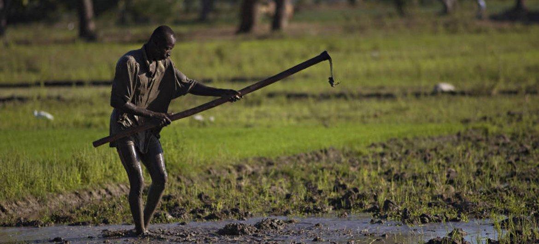A farmer hoeing a rice paddy in Haiti.