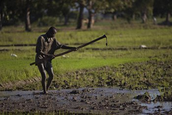 Un agriculteur cultive son champ de riz en Haïti. Photo FAO/Walter Astrada