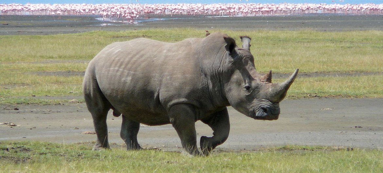 Rinoceronte en Kenya. Foto: Ryan Harvey