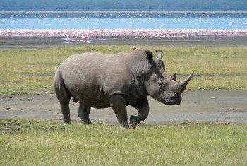 A southern white rhinoceros at Lake Nakuru, Kenya.