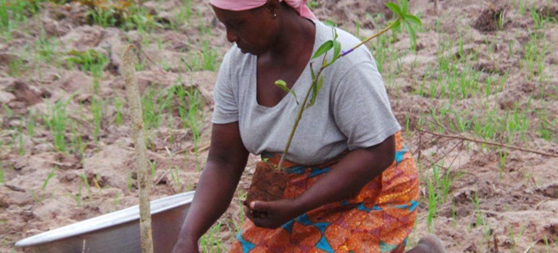 Uma mulher plantando uma árvore de carité em Gana para proteger as margens dos rios e para seu fortalecimento econômico. A manteiga de karité é consumida ou vendida para fins cosméticos