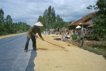 Farmers dry rice on the road to Hon Don in Vietnam.