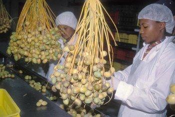 En Namibie, des employés d'une usine emballent des dattes commercialisées pour l'exportation