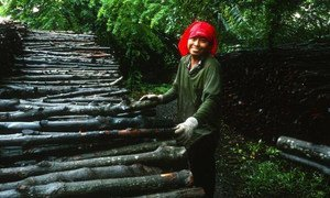 A woman unloading mangrove logs that will be used for charcoal production in Thailand. FAO  contributes to the sustainable production of wood fuels.