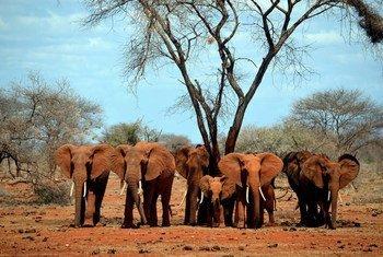 Cerca de 50% da população dos elefantes Africanos podem ser encontrados na Área de Conservação de Kavango-Zambezi