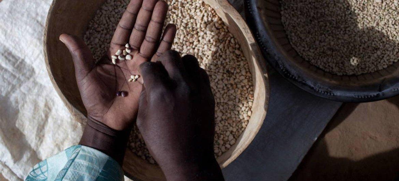 Un agriculteur participant à un projet de la FAO au Mali sur l'intensification durable de l'agriculture trie des haricots niébé. Photo : FAO / Swiatoslaw Wojtkowiak