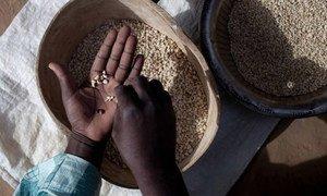 Un agriculteur participant à un projet de la FAO au Mali sur l'intensification durable de l'agriculture trie des haricots niébé.
