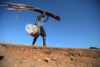 Homem carrega cana de açúcar. Brasil é maior exportador mundial.