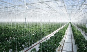 Geothermal energy is converted into electricity and used to heat the Gourmet Mokai glasshouse in New Zealand which grows tomatoes and peppers.