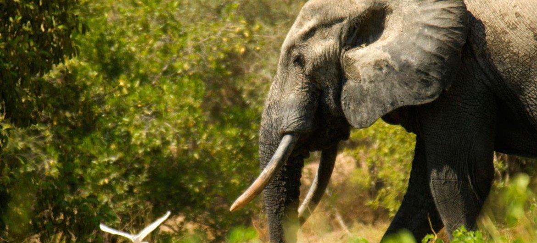 La caza furtiva de elefantes sigue siendo un problema grave, advierte CITES. Foto: Banco Mundial/Arne Hoel
