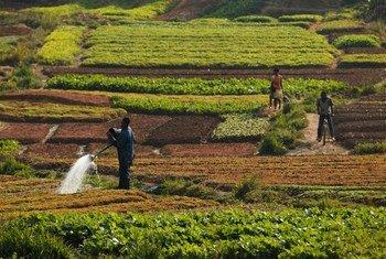 Les sols sains sont essentiels pour la sécurité alimentaire et jouent un rôle primordial dans le cycle du carbone. Photo : FAO / Olivier Asselin