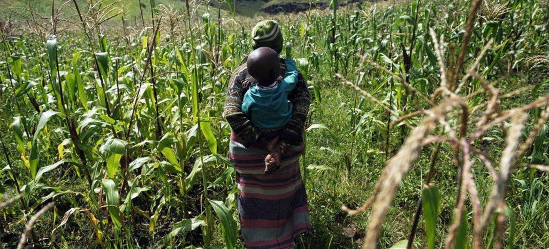 Un fermier et son enfant dans un champ de maïs au Lesotho. Photo FAO/Gianluigi Guercia