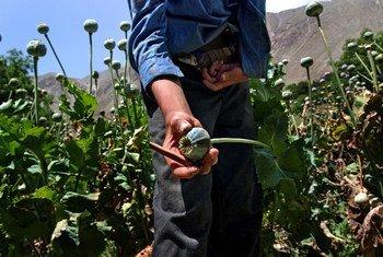 Un champ de pavot. Photo : ONUDC