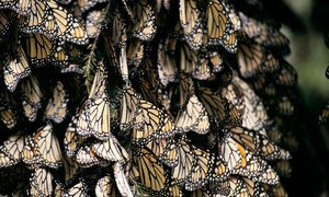 Each autumn, millions of Monarch butterflies make their 3,000 mile journey from the United States and Canada to winter in several locations, including biosphere reserves, in Mexico.