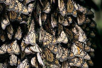 Des papillons au Mexique.