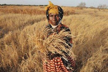 Un agricultor de Gambia en un cultivo de arroz afectado por la sequía  Foto: FAO/Seyllou Diallo