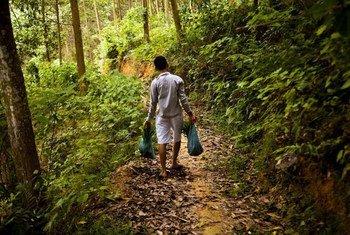 Un ouvrier dans une forêt plantée au Viet Nam transporte des semis. Photo : FAO/Joan Manuel Baliellas