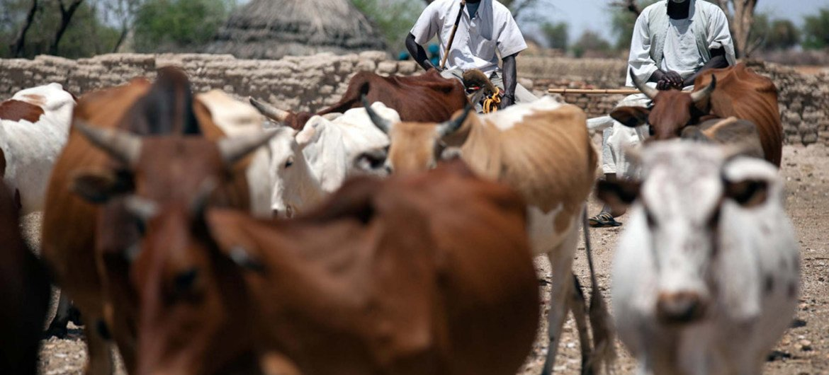 Pastoralists guide their cattle to a water point provided by UNAMID in a camp for internally displaced persons (IDP) in South Darfur.