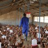 A poultry farm in Chad, one of the countries at risk following a recent bird flu outbreak in neighbouring Nigeria.