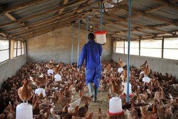 Птицеферма в Чаде Фото ФАО/Сиа Камбу