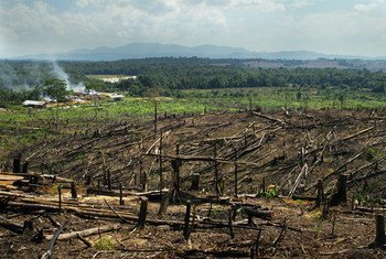 Burning rainforests on Borneo and Sumatra to make space for palm oil plantations is one of the greatest threats to orangutans.