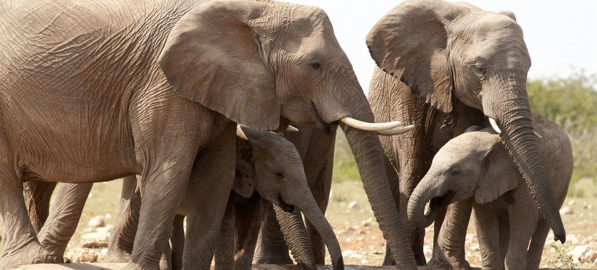 African elephants are listed arsenic  susceptible  by the International Union for Conservation of Nature (IUCN), arsenic  the animals are poached for their ivory tusks.
