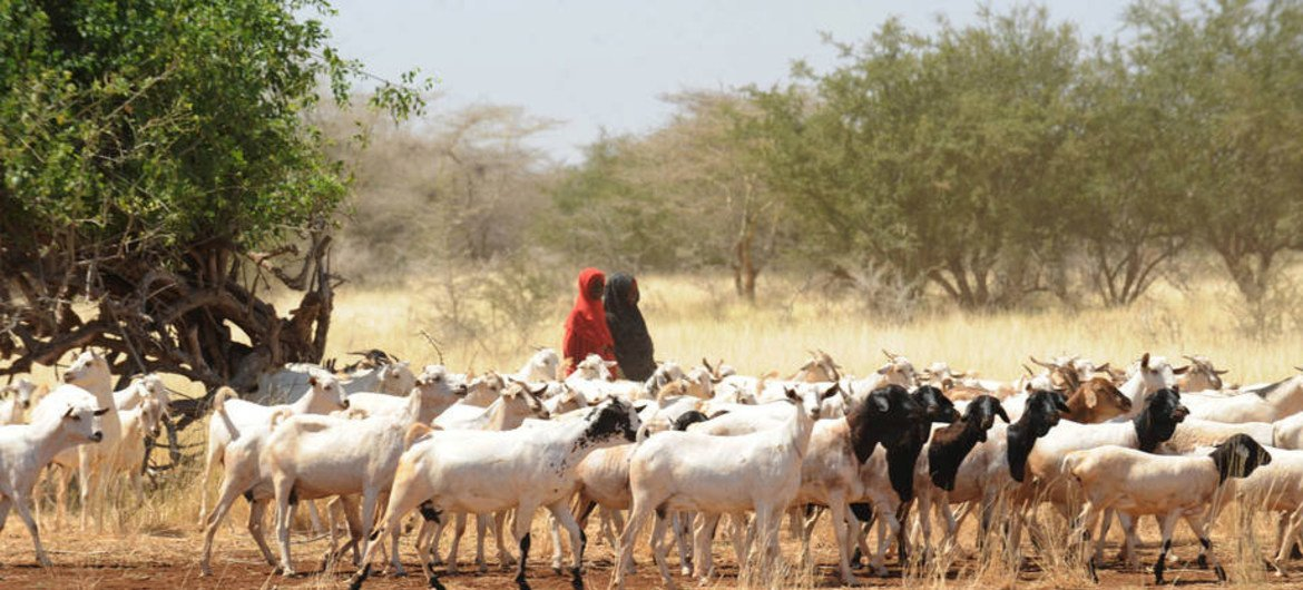 Girls herding goats in Somalia where in certain areas drought has contributed to severe water shortages and livestock deaths.