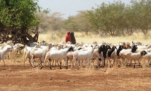 Девочка пасет коз в Сомали. Фото ФАО/Симон Майна