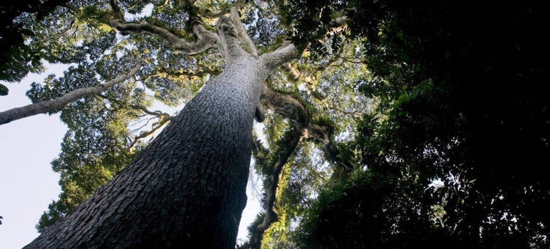 FAO/Giulio Napolitano A agência da ONU Aponta que as árvores fornecem muitos serviços ecossistêmicos e benefícios ambientais para o planeta como um todo.