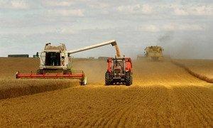 Un champ de céréales. L'indice des prix des céréales a augmenté au cours du mois d'octobre  2019