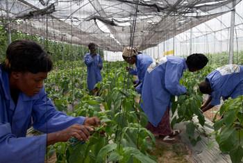 À Katibougou, à la périphérie de Bamako, la capitale du Mali, des employés coupent soigneusement les plantes dans une serre où poussent des pastèques, des poivrons, des tomates et d'autres légumes.