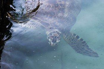 La tortuga carey está entre las especies amenazadas por el exceso de plástico en los océanos.