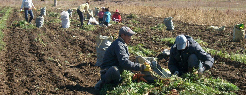 Agricultores de Mongolia cultivan zanahorias como parte de un evento de cooperación sur-sur con China.