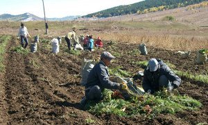 Mongolian farmers harvest carrots as part of an FAO South-South Cooperation Programme between China and Mongolia.