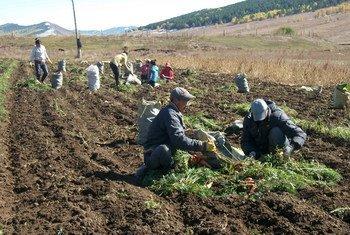 Монгольские фермеры собирают урожай моркови в рамках проекта сотрудничества Юг-Юг с Китаем