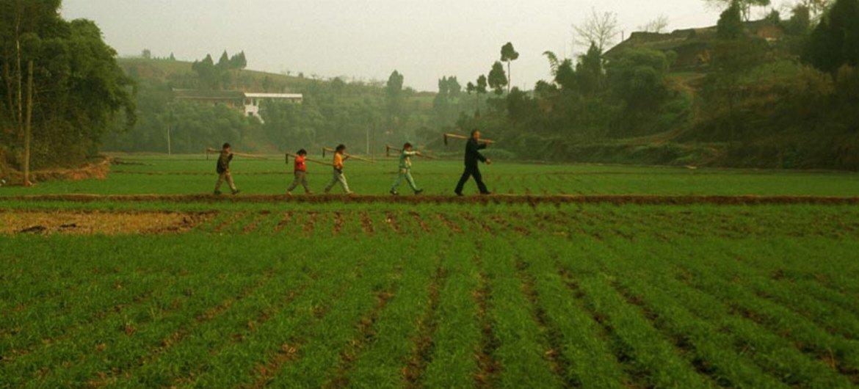 A man, followed by his grandchildren, walk through a rice field in China.