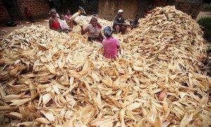 Women in Mozambique desheath a pile of corn.