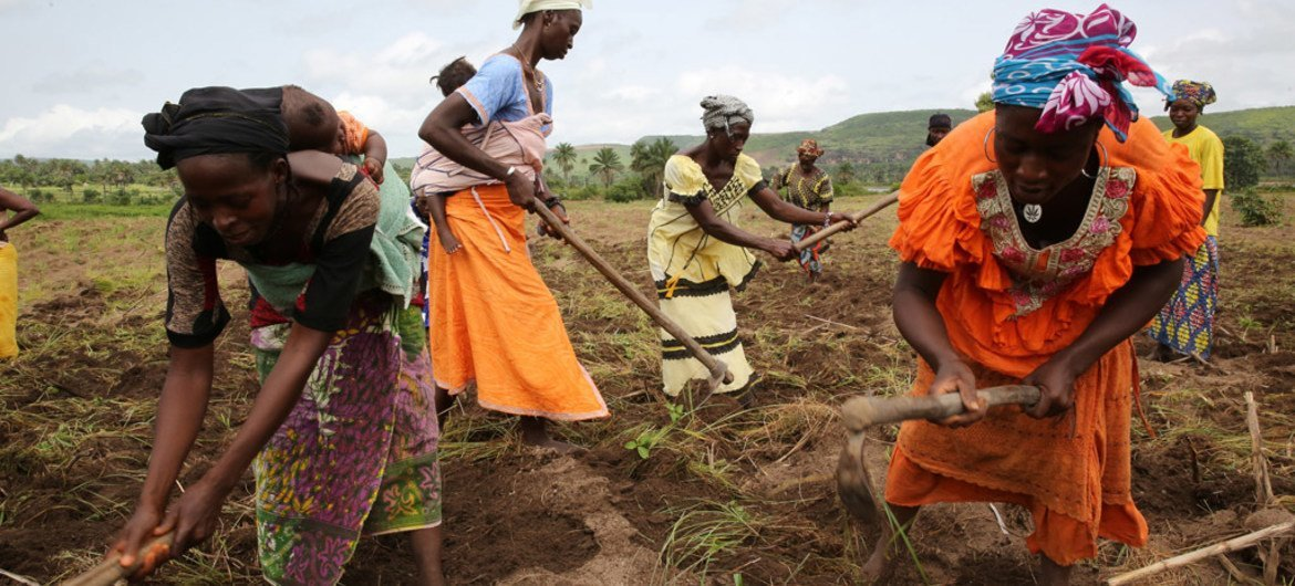 Women farmers plow their fields in preparation to plant corn in Gnoungouya Village, Guinea on June 15, 2015. Many farmers were highly affected by the Ebola outbreak and are slowly beginning to return to their fields to work.