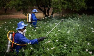 Des travailleurs agricoles utilisent des pesticides dans un champ en Afghanistan. Photo FAO/Danfung Dennis