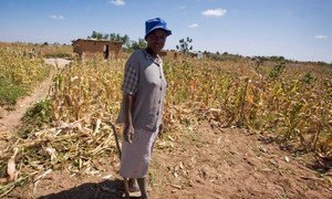 A woman stands outside her temporary home and dried up maize crop in Epworth, Harare, Zimbabwe.